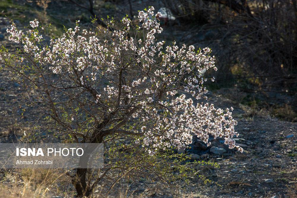 شکوفههای بهاری زمستان در قم و ارومیه