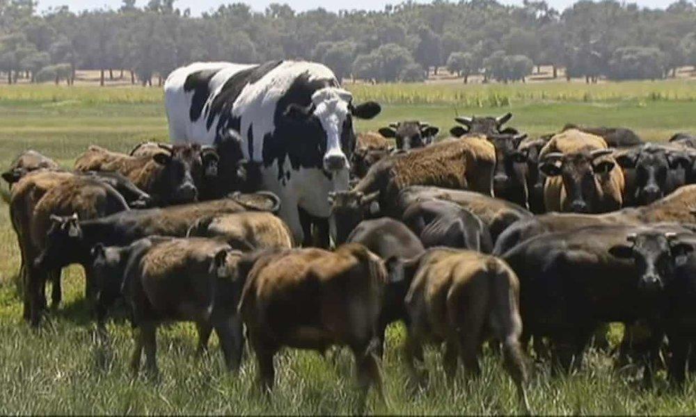 آنچه میبینید یک گاو است؟