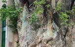درختی ١٥٠٠ساله در قم +عکس
