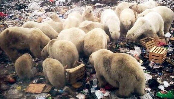 وضعیت اضطراری در روسیه با هجوم خرسهای قطبی +تصاویر
