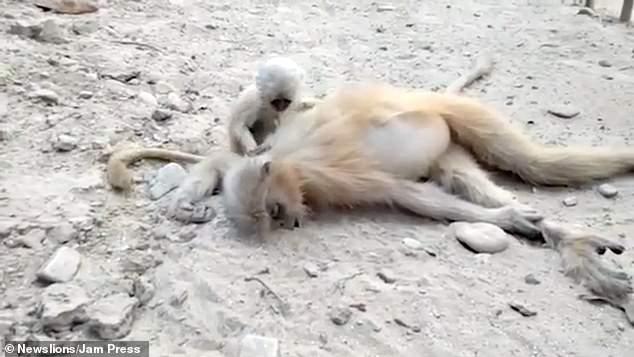 گریه بچه میمون بالا سر جنازه مادرش + عکس