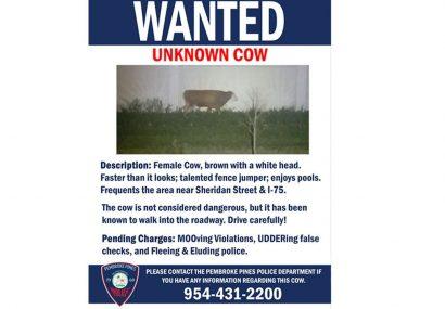 پلیس آمریکا یک گاو را تحت تعقیب قرار داد+عکس