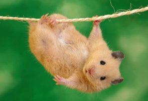 آمادگی بدنی بالای یک همستر در حد قهرمان المپیک + فیلم